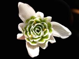 Galanthus_nivalis_'flore_pleno'_1